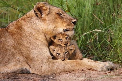 lioness picture blog april 2017.jpg